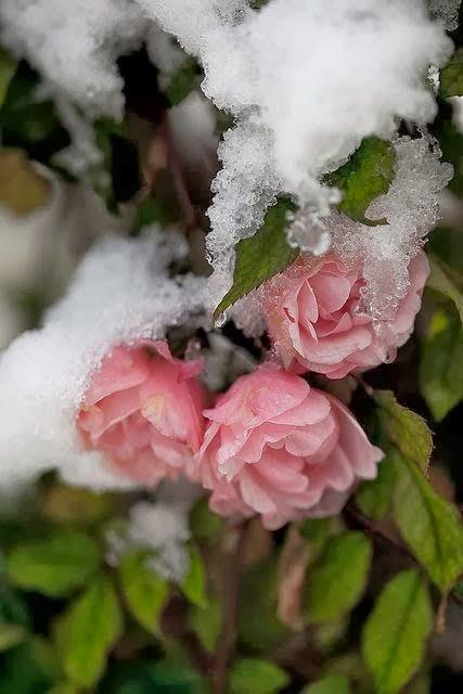 A Rose Under the April Snow