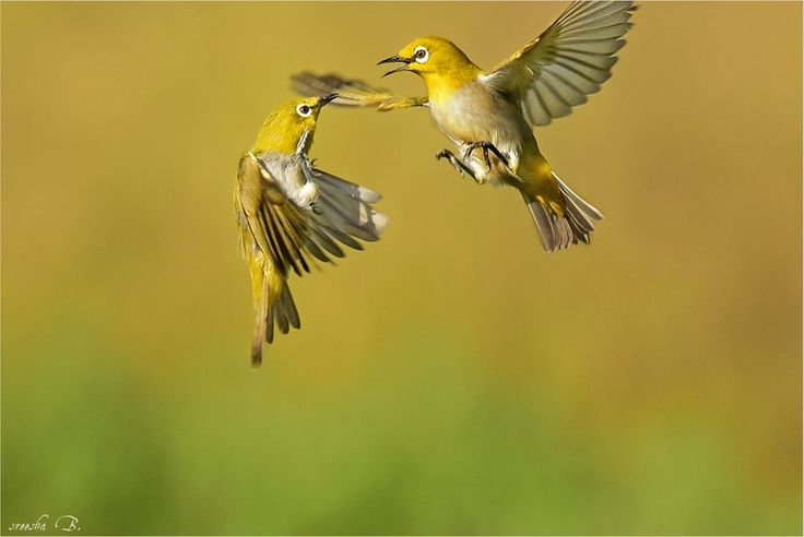Pair Oriental White Eyes) in a mood of dance ― an absolute freeze in freedom