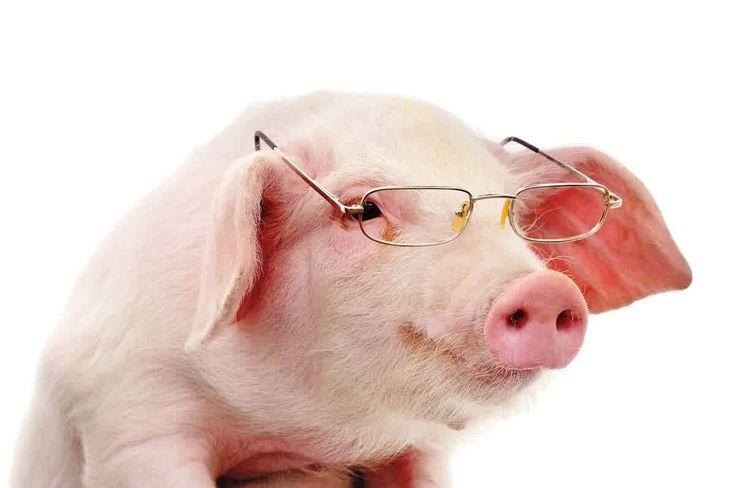 perawatan babi - Manajemen perawatan babi dibagi menjadi 3 kelompok yaitu breeding, fattening dan perawatan anak.     Babi Breeding       Manajemen perawata...