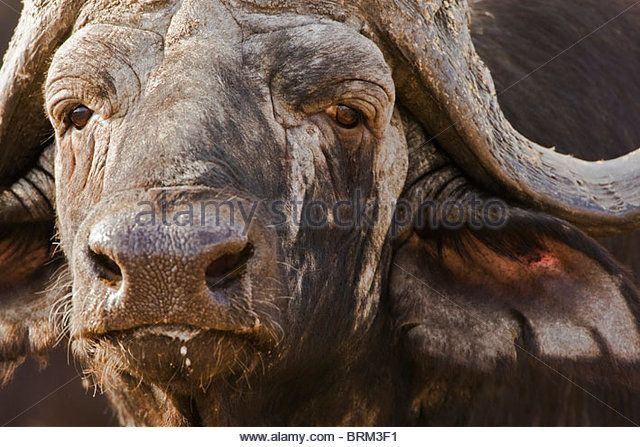 Tight portrait of an old Cape Buffalo bull - Stock Image