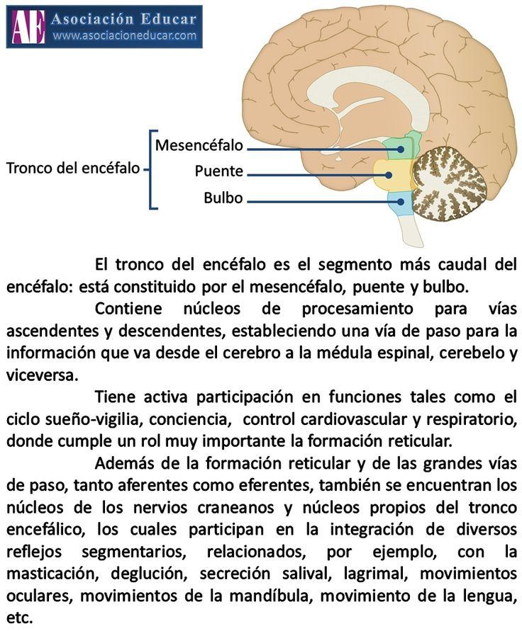 Tronco del encéfalo. Asociación Educar - Ciencias y Neurociencias aplicadas al Desarrollo Humano - www.asociacioneducar.com Tamaño completo: www.asociacioneducar.com/ilustracion-tronco-encefalo