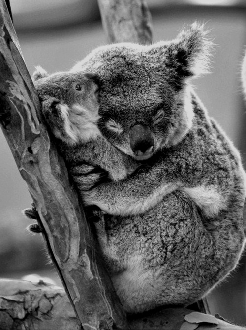 Koala sleeping nurture mother australia australiana national emblem koalas