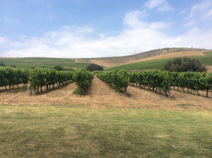 Klein Roosboom vineyard in Durbanville, South Africa