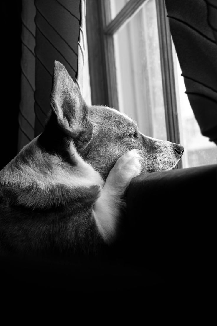 corgiandfriendz: My doggie in the window is not for sale :) Waiting for dad to come home.