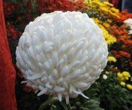 Different Kinds of Mum Flowers | Pompon Mums