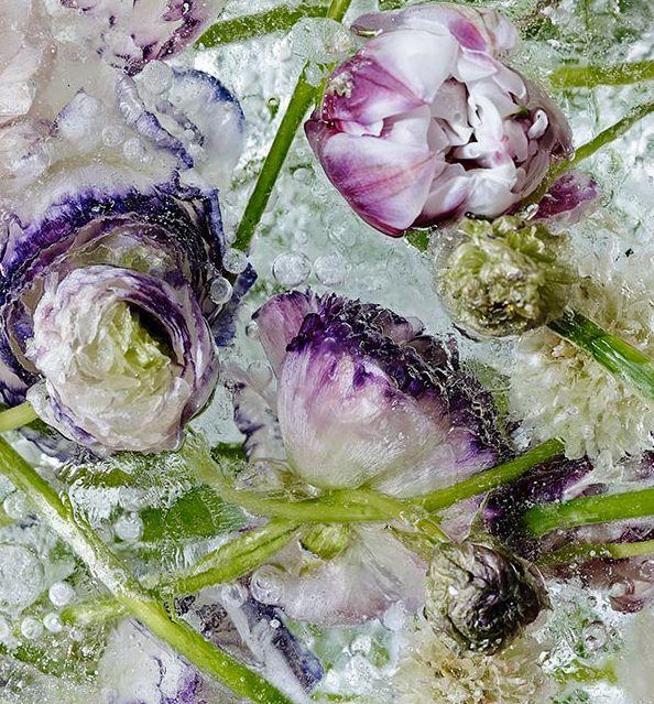 """El artista japonés Kenji Shibata creó una hermosa serie de fotografías congelando flores en grandes bloques de hielo. Las imágenes, tomadas mientras los cubos se derretían, se asemejan a acuarelas. La serie se llama """"Atrapadas en el éter"""" (""""Locked in the ether""""). El título refiere al hecho de que las flores están congeladas en el tiempo en el momento de su máximo esplendor. Para realizarla, el fotógrafo de Osaka hizo un cuidadoso arreglo dentro de bloques de hielo. El frío permitió conservar…"""