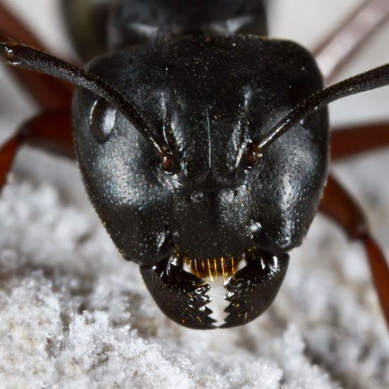 Large Black Ant - Camponotus herculeanus