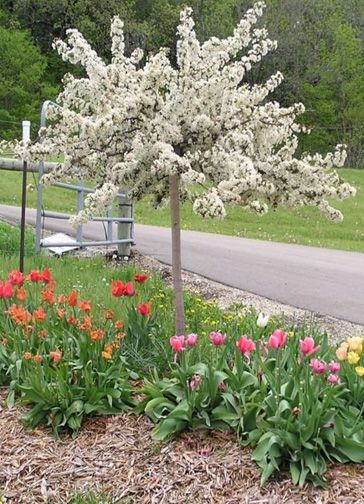 Dwarf ornamental trees zone 5 images for Flowering ornamental trees zone 5