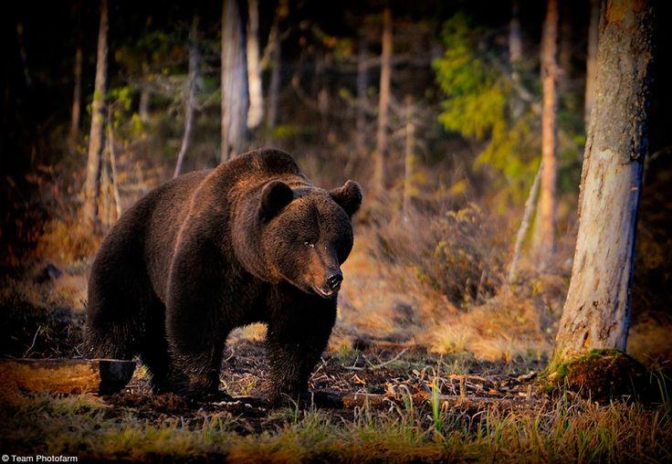 Viaggio fotografico Sulle tracce dell'orso in Finlandia