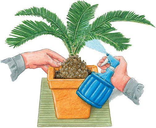 Vaporizar periódicamente las hojas con agua no calcárea. En exterior, antes de que le de el sol. Las gotas son como lupa y dañando las hojas.