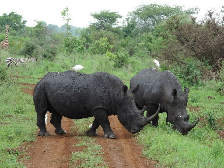 Two Rhino crossing the road right in front of the car