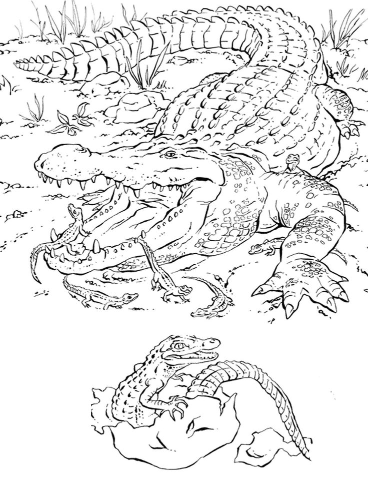 Animal Coloring Pages For Adults Realistic Alligator