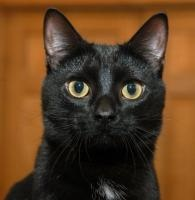 Data is an adoptable Domestic Short Hair-Black Cat in Chicago, IL. Data is a gorgeous and sleek panther-like two year old black cat with golden green eyes and a white spot on his chest. He is the expl...