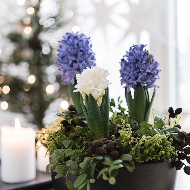 Joulu ei saavu ilman hyasintin tuoksua 🌷 Blogissa istutusideat! #kauniistikotimainen @kauniistikotimainen #hyasintti #hyacinth #scandinavianchristmas #nordicchristmas 🌷 Kaupallinen yhteistyö