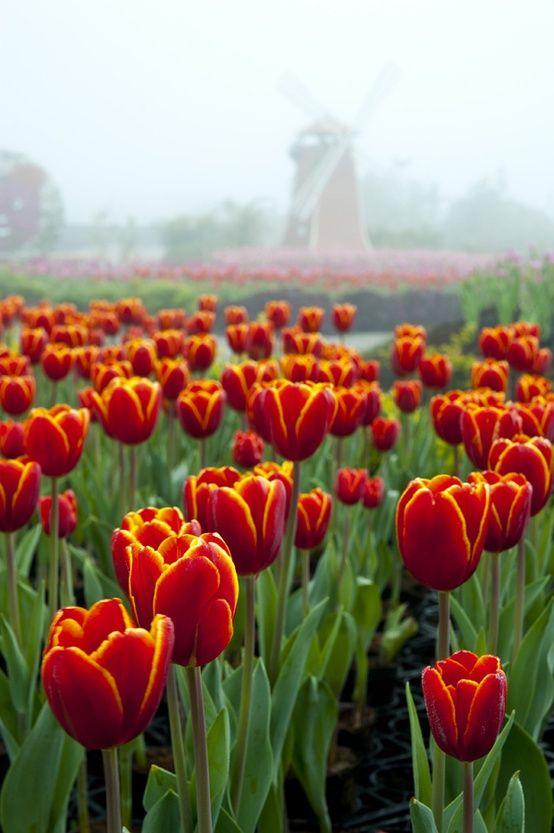 Nostalgie, zulke tulpen hadden wij vroeger in de tuin. Ik zou ze graag in de mijne willen.