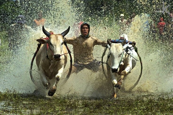 Pacu Jawi Cow's Race # 2 by CK NG