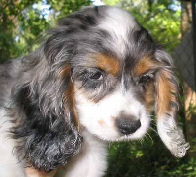 Pretty!!! blue merle parti Cocker with tan points