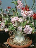 Адениум, комнатное растение адениум, цветок адениум, уход за адениумом, размножение адениума, виды адениума, фото адениума