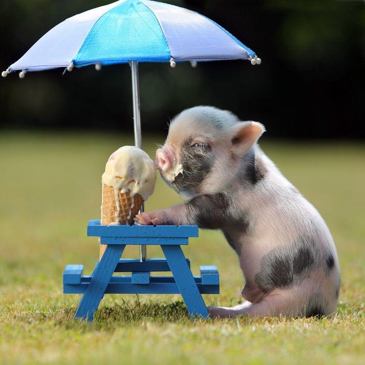 A pig eats an ice cream cone under an umbrella. Life makes sense again.