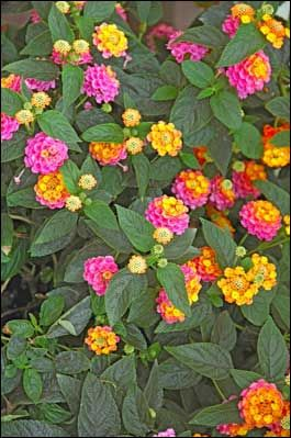New lantana varieties like this Landmark Sunrise Rose are selected for non-stop blooming and vibrant colors all summer till frost. Lantanas are just stunnning,  beautiful...love them!!