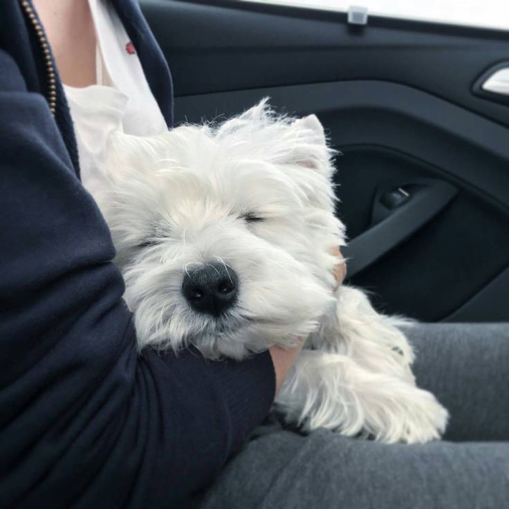 Humans just arrived back at the airport! Take a look at what I did in the car on the way home... To be featuredFollow @westiemoments Use #westiemoments Credit: @kobe_the_westie