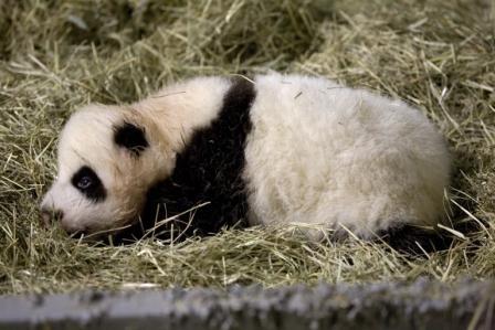 #panda #pandas Po