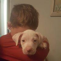 American Pit Bull Terrier dog for Adoption in Alexander, AR. ADN-754355 on PuppyFinder.com Gender: Female. Age: Baby #PitBull