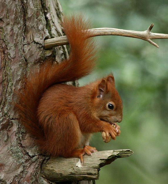 foto's van eekhoorn - Google zoeken