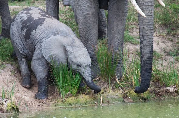 Elephant and Calf at waterhole. Find out when is the best time to visit Kruger National Park in South Africa. Game-viewing in Kruger Park is best in winter but some visitors prefer the lush vegetation of the summer months.