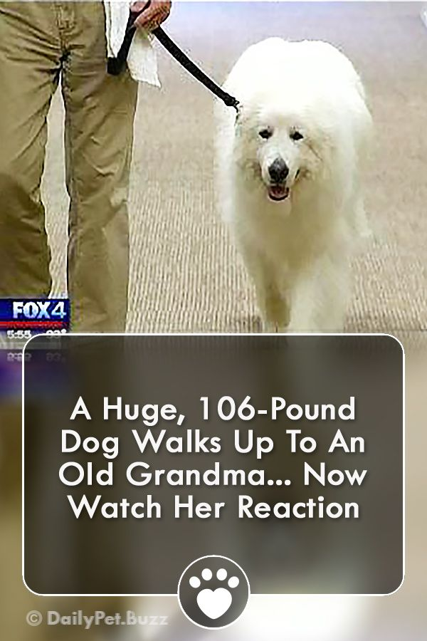 A Huge 106 Pound Dog Walks Up To An Old Grandma Now Watch Her