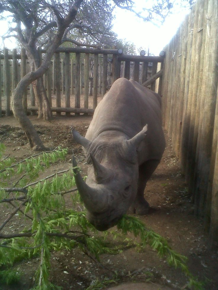 Our Beautiful Black Rhino