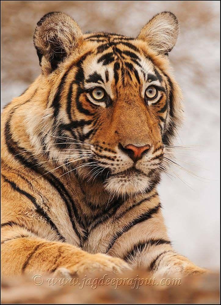 Tiger portrait for a tattoo idea