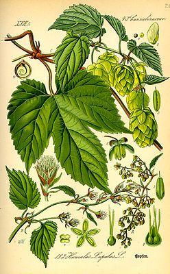 """Echter #Hopfen (Humulus lupulus), Illustration """"Der Echte Hopfen (Humulus lupulus) ist eine Pflanzenart in der Gattung Hopfen und durch seine Verwendung beim Bierbrauen bekannt. Er gehört zur Familie der Hanfgewächse (Cannabaceae)."""""""