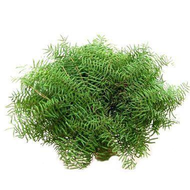 Coral fern (Gleichenia)
