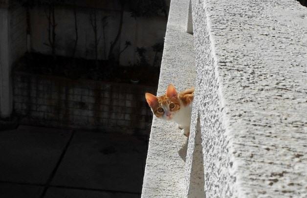 El gato León mira desde el balcón