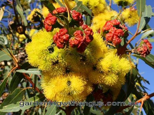 A small mallee gum tree growing from 4-8 metres tall, with outstanding large golden yellow flowers in late summer to early autumn. Description from gardeningwithangus.com.au. I searched for this on bing.com/images