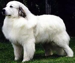 Known as Le Chien de Montagne des Pyrénées in its native France, the Great Pyrenees is known to be one of the oldest breeds of dog in the world. Description from planetanimalzone.blogspot.com. I searched for this on bing.com/images