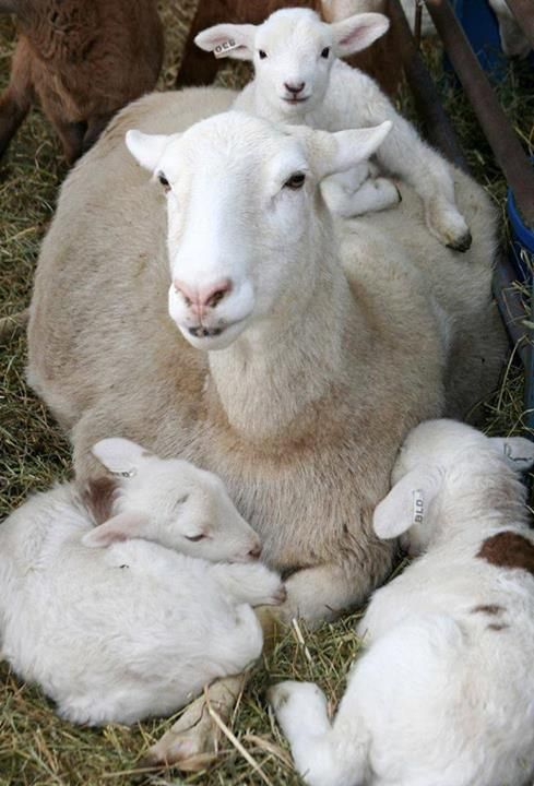 ewe with triplets…..SO YOU THINK THIS IS SOOO CUTE, HUH ??……HAVE YOU EVER TRIED SLEEPING WITH YOUR KIDS SPRAWLED ALL OVER YOU ??…………ccp