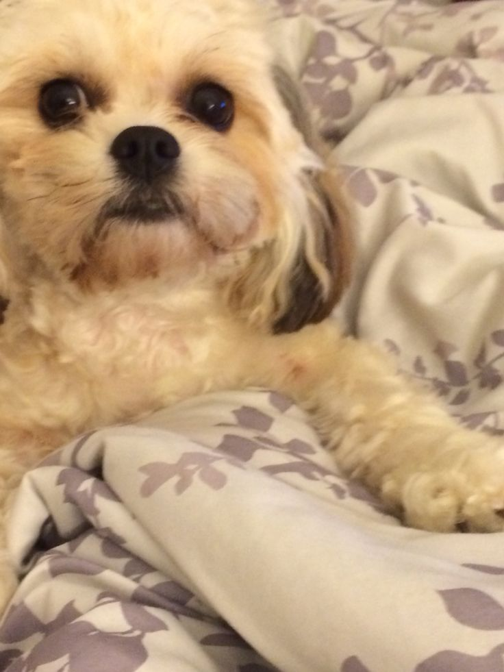 17 Best Images About Cavachon On Pinterest Chihuahuas