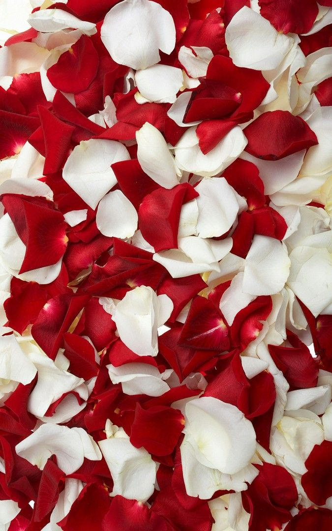 Red White Petal Flowers Hd Wallpaper White Wallpaper For