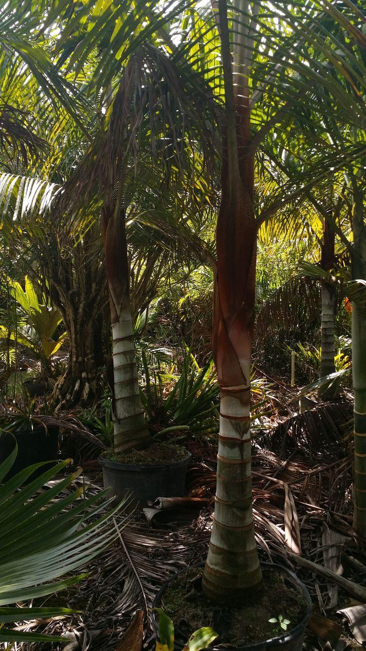 Florida Palm Trees - Rare Palms Teddy Bear Florida Southern Florida Palm Trees Drought Tolerant FL Palms RealPalmTrees.com Buy Florida Palm Trees #FloridaPalms #FloridaPalmTrees #BuyFLPalms FL Palms WHolesale - Teddy Bear Palm Tree