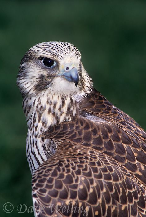the prairie falcon falco mexicanus is a striking raptor found througout the midwestern and southwestern united states | Dave Welling Nature Photography