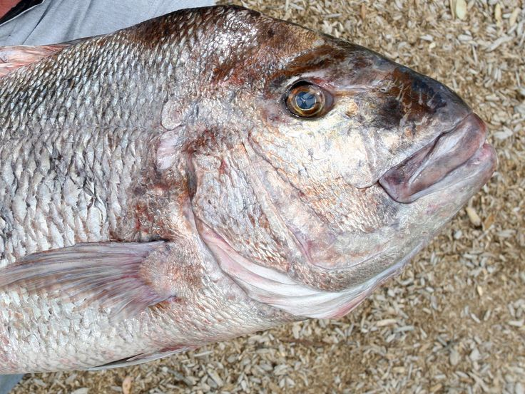 The snapper are queuing up in the Whangarei Harbour, waiting for you! - Northern Advocate