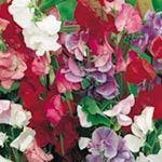 Nyanser av scharlakansrött , crimson , blått , lax , cerise och lila . Fyra eller fem stora blommor på långa stjälkar . Dvärgblandningen . HA - Hardy årligen . Höjd 90 cm ( 3
