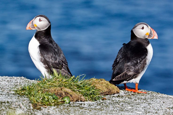 An Atlantic puffin, Vesterålen. Image by Billy Idle / CC BY-SA 2.0 - Provided by Lonely Planet