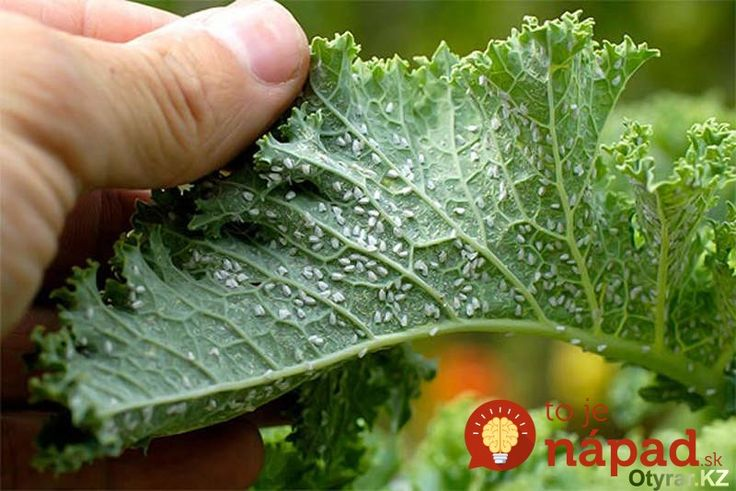 Poznáte to všetci – vošky a iný drobný hmyz dokáže v záhrade narobiť poriadnu šarapatu. Čo však robiť, ak nechceme použiť žiadnu chémiu? Skvele vám pomôže odvar z tabaku. 70g tabaku povaríme asi hodinu v 1,5l vody. Potom scedíme a zriedime 1:1. Týmto roztokom postriekame rastliny. A čo je vynikajúce – spoľahlivo to funguje nielen...