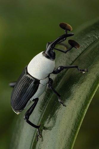 ˚Black and White Weevil by andre de kesel @ flickr