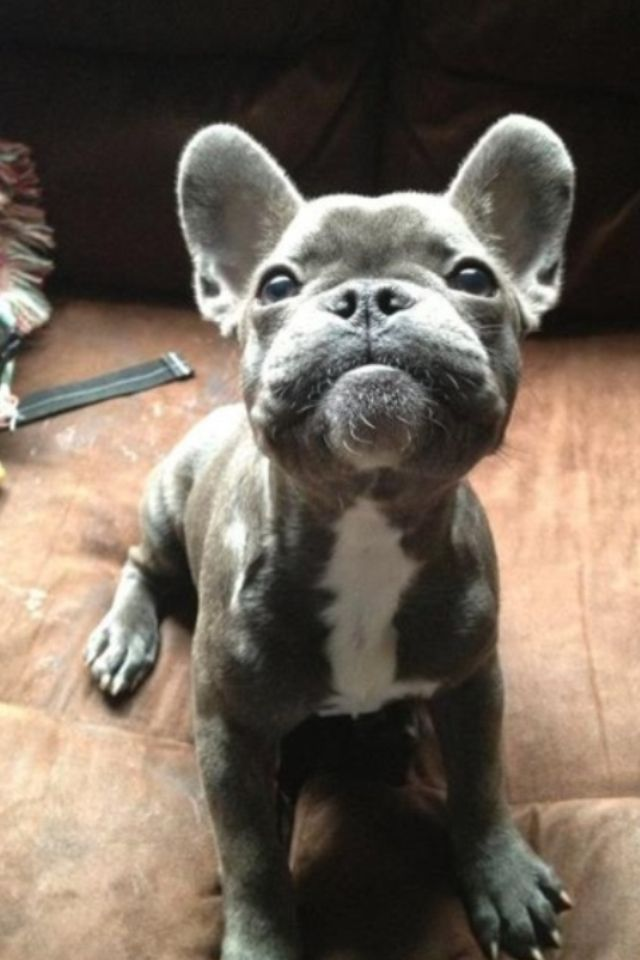 frenchie #hund #freizeit