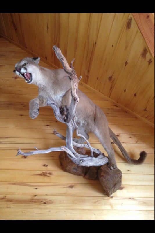 60 Best Images About Mountain Lion Mounts On Pinterest