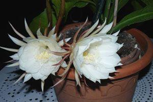 La Fleur de lune (Spathiphyllum wallissi)